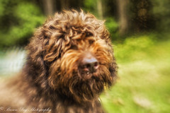 The more I see of men, the more I like dogs. Clara Bow (Sitch2) Tags: shotwideopen plasticoptic composerpro lensbaby bestfriend loyal brown labradoodle forest dog