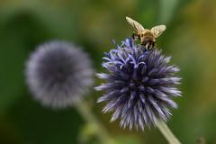 Distel met zweefvliegje (Geziena) Tags: flower closeup insect flora nikon natuur 90mm distel bloem d600 zweefvlieg