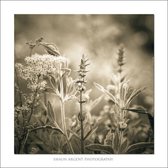 Borders (shaun.argent) Tags: morning flowers summer nature leaves mono flora seasons wildflower shaunargent
