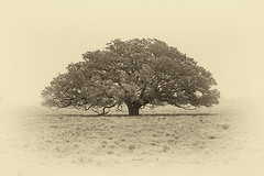 A Good Texas Tree (slight clutter) Tags: tree nature sepia rural landscape countryside texas lonetree sepiatoned