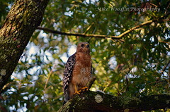 Red-Shouldered Hawk (Mike Woodfin) Tags: park county color nature contrast photoshop canon tampa photography photo cool nikon pretty fuji florida photos country picture photograph fl hillsborough hillsboroughcounty mikewoodfin mikewoodfinphotography