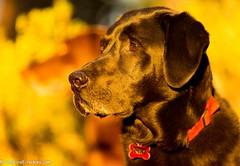 The Labraduo at Sunset (KB RRR) Tags: colorado r rockymountains frontrange chocolatelabrador shyla blacklabrador