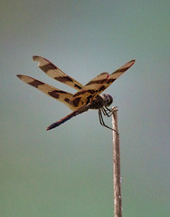 halloween pennant (slider5) Tags: dragonfly ms noxubee halloweenpennant