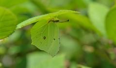 Brimstone (Gonepteryx rhamni) (Bob Eade) Tags: butterflies brimstone gonepteryxrhamni lepidoptera lewes eastsussex woodland nature wildlife
