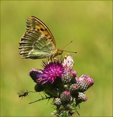 Female Silverwashed Fritillary nectaring (glostopcat) Tags: silverwashedfritillarybutterfly butterfly insect invertebrate glos thistles wildflowers coopershillwood summer cotswoldcommonsbeechwoodsaonb