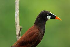 Gymnostinops montezuma (RiversideMovie&Pictures Wildlife) Tags: montezumastirnvogel costarica sancarlos canoneos7dmarkii canonef600mmf40