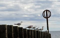 Seagulls (Ian Jackson 1974) Tags: seagulls shore birds aberdeen beach sea sky scotland july 2016 posts clouds