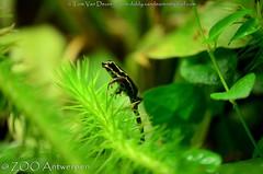 amazonegifkikker - Ranitomeya ventrimaculata - Reticulated poison frog (MrTDiddy) Tags: amazonegifkikker ranitomeya ventrimaculata reticulated poison frog amazone gifkikker gif kikker amfibie amphibian zooantwerpen zoo antwerpen antwerp
