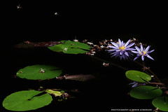 Stufen zum Licht (Erwin Lorenzen) Tags: bltter seerosen teich elo canoneos5dmarkii nature green nymphaea flower nymphaeacaerulea blauerlotus hamburg plantenunblomen plants deutschland