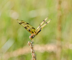 Halloween Pennant (Neil DeMaster) Tags: dragonfly insect pennant halloweenpennant nature conservation