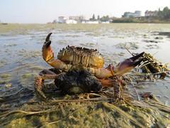 Warty Crab mom. (Vitaly Giragosov) Tags: каменныйкраб севастополь крым sevastopol sx50hs crimea blacksea чёрноеморе eriphiaverrucosa wartycrab