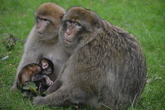 Family Photo (CoasterMadMatt) Tags: monkeyforest2016 monkeyforest trenthamgardensmonkeyforest monkeyforesttrenthamgardens trenthamgardens monkey forest trentham gardens zoo wildlifepark wildlife park animalpark animal walkthrough barbarymacaque barbary macaque macacasylvanus macaca sylvanus animals exhibit enclosure monkeys primate primates babymonkey youngmonkey baby young infant adorable cute family group trenthamestate staffs staffordshire westmidlands england britain greatbritain gb unitedkingdom uk july2016 summer2016 july summer 2016 coastermadmattphotography coastermadmatt photos photographs photography nikond3200