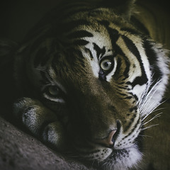 Bedroom Eyes (Paul E.M.) Tags: tiger malayan endangered panthera sdzoo cinta jacksoni tigris eyes seductive