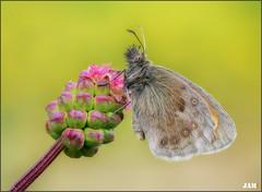Esperanza en la mañana (- JAM -) Tags: naturaleza flower macro nature insect nikon flor explore jam mariposas d800 insecto macrofotografia explored lepidopteros juanadradas