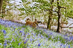 Bluebell Girl (jayneboo) Tags: odc repetitive bluebells wildflowers woods forest grinshill shropshire ed edison dog friend pet repitition dogphotographyshropshire