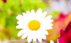 ∞ Spring Flower ❁ (© Ahmed rabie) Tags: white plant macro grass yellow outdoors soft natur simplicity daisy wildflower gentle