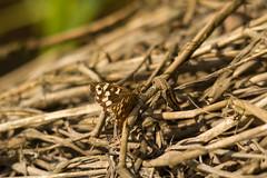 Speckled Wood Butterfly (jon lees) Tags: brown fern female woodland butterfly garden insect bracken britishwildlife scruffy invertebrate hedgerow weatherbeaten speckledwood parargeaegeria irishwildlife