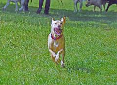 Sam, und Freunde (Gnter Hentschel) Tags: dog germany fun deutschland nikon lab europa labrador sam hund alemania nrw allemagne rennen germania laufen labby spas nikond3200 d3200 hundewiese labbi palenberg bach bachpalenberg