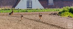 Het hazepad kiezen (Baeske) Tags: fauna europa europe hare belgium belgique belgie westvlaanderen haas flanders regio vlaanderen livre lepuseuropaeus zoogdieren anzegem ingooigem
