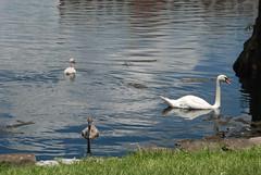 Orlando - Lake Eola Park - Swans (jrozwado) Tags: park usa bird orlando swan florida wildlife cygnet northamerica lakeeola