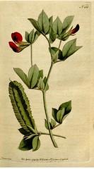 Anglų lietuvių žodynas. Žodis lotus tetragonolobus reiškia <li>lotus tetragonolobus</li> lietuviškai.