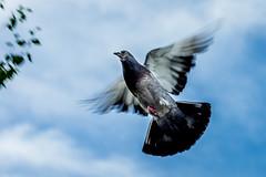 Pigeon (stephanrudolph) Tags: animal 70200mm 70200mmvr 70200mmf28gvr d750 nikon handheld england uk gb europe europa nature bird sky flying animalplanet