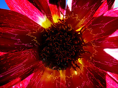 Back Lighting (Steve Taylor (Photography)) Tags: backlit flower light outline art digital abstract black brown red pink purple mauve vivid newzealand nz southisland christchurch northnewbrighton dahlia lines sunshine