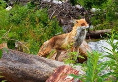 Cool fox (maca158) Tags: fox vysoke tatry slovensko slovakia high tatras trip orange friendly europe evropa canon 650d tamron 1750 mm