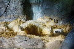 """It's Sunday and I don't have to get out of bed if I don't want to."" (ucumari photography) Tags: ucumariphotography anana polarbear ursusmaritimus oso bear animal mammal nc north carolina zoo osopolar ourspolaire oursblanc eisbär ísbjörn orsopolare полярныймедведь july 2016 dsc9738 specanimal 北極熊"