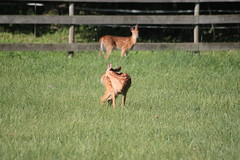 IMG_9072 (thinktank8326) Tags: nature wildlife deer spots fawn whitetaileddeer babyanimal