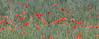 Mohnblumen und Schmetterlinge (arjuna_zbycho) Tags: flower fleur fleurs flora maki natur blumen blume popy mak kwiaty mohn kwiat cornpoppy badenbeiwien klatschmohn mohnblume redpoppy coquelicots papaverrhoeas redweed mohnblumen heilpflanze fieldpoppy cornrose popies pavots klatschrose rosolaccio flanderspoppy hausmittel czerwonemaki popyflower makpolny gatunekleczniczy kwiatypolne papaverocomune közönségespipacs vetésipipacs
