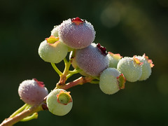 Blueberries to Be (pxlsnfr) Tags: blueberries dew dewdrops backlit rimlight berries
