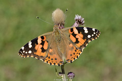 Painted Lady (Ralph J Clark) Tags: paintedlady butterfly papercourtmeadows summer sigma105mmf28exdgmacroos