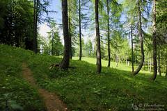 Nell'incanto del lariceto al monte Boschet (EmozionInUnClick - l'Avventuriero's photos) Tags: sentiero bosco larici dolomitifriulane monteboschet