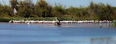 flamingos herd (lhags2000) Tags: canon eos 5d mark2 lake water blue animals birds flamands roses flamingo herd troupeau tang camargue sud france paca tamron 150600 tamron150600