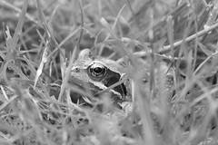 Hidden frog (alicoombe) Tags: blackwhite hiding frog gardenwildlife