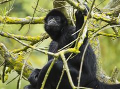 "Cool guy (Vidar ""the Viking"" Ringstad, Norway) Tags: summer warm holiday monkey ape animal tree sitting looking eating nose eyes arms bokeh natureshot naturepic nature cool boss canoneos5dmkiii zoo ree reepark denmark danmark danish"