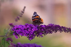 Butterfly (tecgen) Tags: m42 58mm f20 trioplan russian ddr jena carlzeissjena vintage czj macro butterfly 582 442 swirly zeiss carlzeiss biotar helios