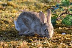 Early morning rabbit. (pstone646) Tags: rabbit nature animal closeup fauna mammal kent wildlife dungeness