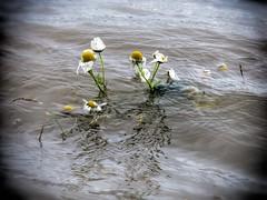 High Water (savillent) Tags: flowers daisy water tide arctic ocean north climate tuktoyaktuk northwest territories travel canada canon savillent july 2016