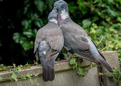 DSC4272  Lovebirds! (jefflack Wildlife&Nature) Tags: woodpigeon pigeon pigeons birds avian wildlife wildbirds woodlands farmland forest fields countryside parks nature slimbridge