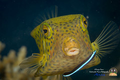 YELLOW BOXFISH (80mm) (Sonja Ooms) Tags: aqaba cubicus egypt fish gulfofaqaba marine nature nuweiba ostracion ostracioncubicus sinai yellow yellowboxfish
