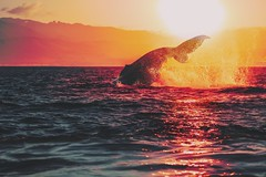 Humpback Whale at Sunset (Richard Gottardo) Tags: canon jump splash nature whalewatching vancouverisland canada bc britishcolumbia sunset ocean whalesocean whale humpback