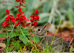 bunny -Stopping to Smell the Flowers? (dbking2162) Tags: animal rabbit bunny wildlife nature flowers red outside plants