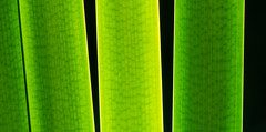 behind the green curtain (muskokaTIMe) Tags: cattails backlit sunlight macromondays opposites