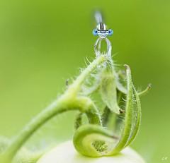 Pennipatte bleutre de face. (gille33) Tags: gillesremus nature macro insecte insect insectes libellule libellula odonata odonate demoiselle pennipatte nikond810 sigma150 green vert