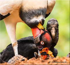 'dining' (d-lilly) Tags: kingvulture costarica costarica2016 blackvulture vultures naturestapestryphotoadventuretours