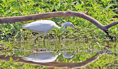 Juvenile Blue Heron (rumerbob) Tags: greategret egret bird birdwatching birdwatcher birdphotographer peacevalleypark lakegalena nature wildlife canon7dmarkii canon100400mmlens