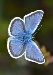Silver-studded Blue Butterfly Plebejus argus Beaulieu Road tagged In Explore 31 July 2016 (peterleanranger) Tags: plebejus argus plebejusargus lycaenidae lepidoptera nikonpassion fantastic nature fantasticnature wildlife fantasticwildlife silverstuddedblue blue