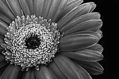 Flower in B&W (yafit770) Tags: macromondays flowersinblackwhite petals bw background macro canon t5 flower challengeyouwinner